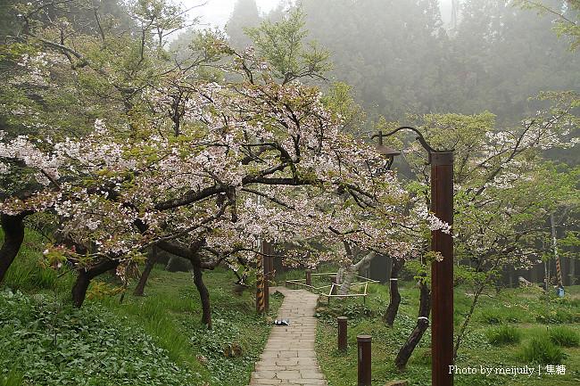 阿里山櫻花季陰天版40