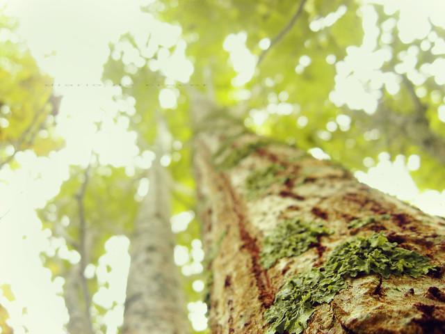 Verde abedul