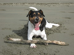 earthquake4-4-11 019 (ron.boost) Tags: dog cute beach friend good best terrier tired fox po doggy exhausted qwertyuiop errier foxt earthquake4411 doodlezxcvbnmlkjhgfdsaqwertyuiop