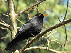 Blackbird close 1 (imly) Tags: bird nature blackbird koltrast best2011