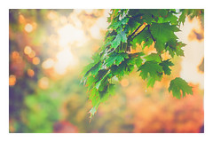 Fall color (DESHAN SILVA) Tags: depthoffield dof leaves beautiful backlit backlight branches autumn octomber fall colors golden bokeh soft light canon 100mm toronto canon5d colorful green nature softlight