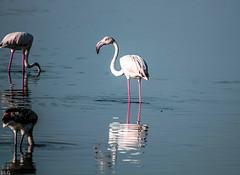 flamencos (ibzsierra) Tags: ibiza eivissa baleares canon 7d 100400isusm ave bird oiseau agua salinas parque natural