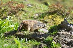 DSC_3747 (d90-fan) Tags: rauris raurisertal natur alpen salzburgerland österreich nationalpark npht hohe tauern wandern krumltal seidlwinkeltal