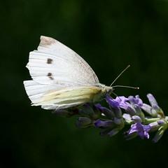 Small White (Pieris rapae) (bayucca) Tags: white butterfly schweiz switzerland butterflies insects lepidoptera papillon farfalla insekten schmetterlinge emmental pierisrapae smallwhite cabbagebutterfly pieridae kohlweissling weissling pierissp wwwnkisinfoflickr0066z8022