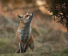 Red Fox (Stuart G Wright Photography) Tags: red g wildlife stuart cannock fox chase wright staffs
