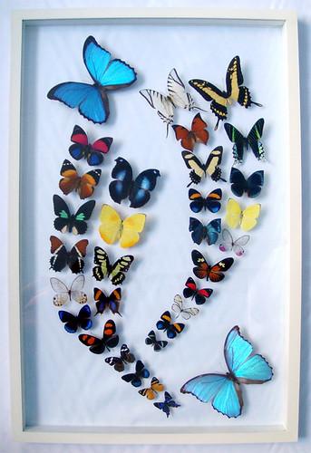 blue morpho framed butterfly art with colorful butterflies