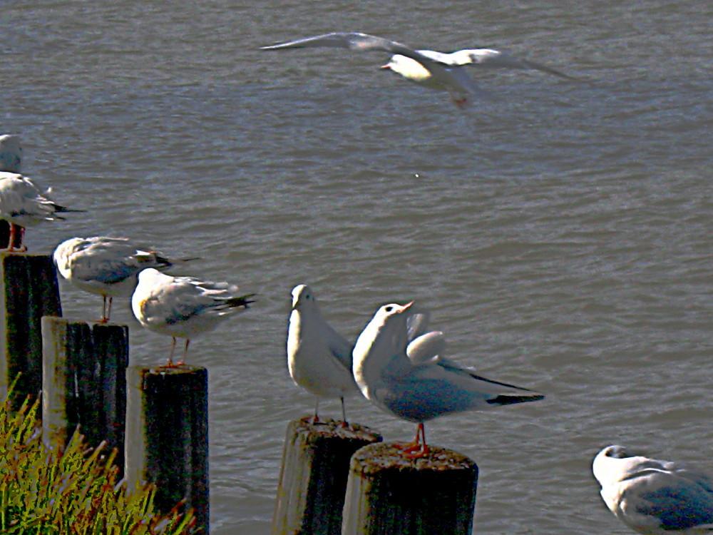 29-01-2011-gulls2