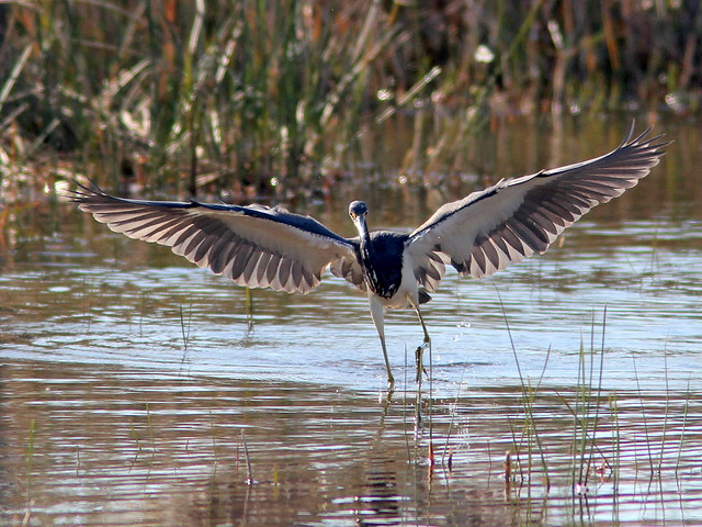 Tricolored Heron dance 2-20110130