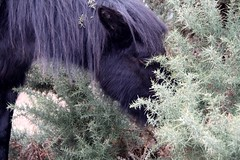 five a day (romorga) Tags: uk winter wild horse cold nature canon longhair february equine feral equus thenewforest galope thickcoat romorga romorgan