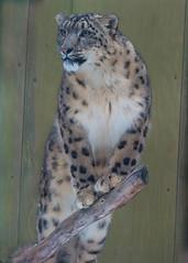 Snow Leopard on Branch Three Qtr View