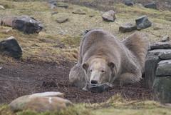 IJsberen zijn wit? (Mamanon) Tags: zoo rotterdam blijdorp ijsbeer dierentuin