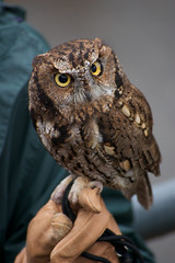 Western Screech Owl (incanus) Tags: fave owl afsdxvrzoomnikkor55200mmf456gifed