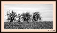 Les arbres aux corneilles (PJ Despa) Tags: trees winter tree bird nature landscape countryside europe belgium belgique noiretblanc hiver ngc corneille arbres valley paysage arbre oiseau liège wallonie vallée lüttich comblainaupont wallonia oneux