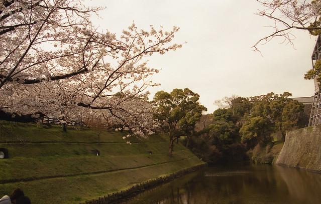 熊本城の桜のフリー写真素材