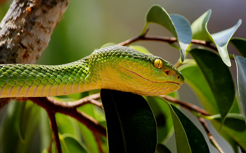 Tree Viper by chris.merwe