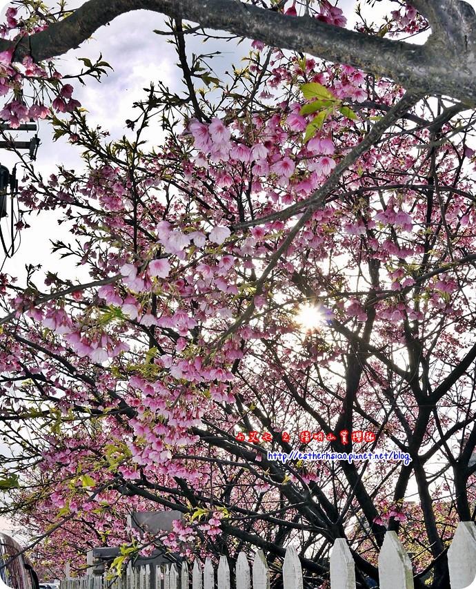 68 平菁街42巷櫻花樹
