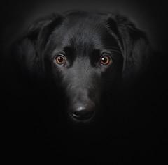 Bailey (Mark Frost :)) Tags: portrait dog white black animals grey collie labrador cross lollie colliecross