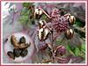 Prickly seedpods of Castor Bean Plant (jayjayc) Tags: plants maroon seeds foliage malaysia kualalumpur seedpods neighbourhood castoroilplant ricinuscommunis reddishpurple castorbeanplant palmateleaves jayjayc
