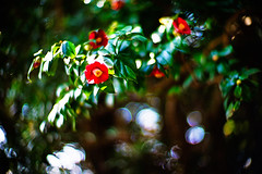 fun in the February sun (moaan) Tags: life leica winter light sunlight flower digital 50mm flora dof bokeh f10 utata flowering camelia noctilux february sasanqua m9 2011 inlife leicanoctiluix50mmf10 leicam9 gettyimagesjapanq1 gettyimagesjapanq2