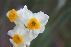 Daffodil (turntable00000) Tags: white 3 flower tree yellow japan photography tokyo turntable daffodil 365  takashi    kitajima turntable00000