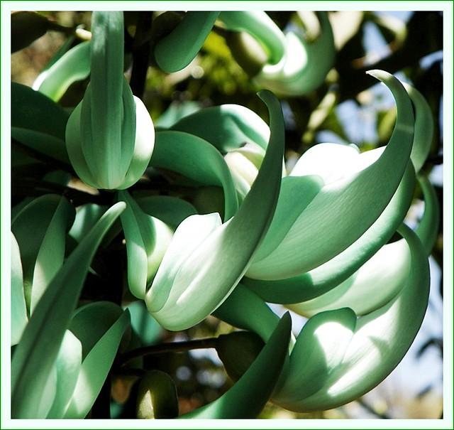 Jade Vine - Strongylodon macrobotrys