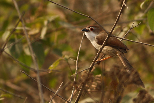 Yellow eyed Babbler - First time shot