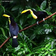 Chestnut-mandibled toucans (LPJC) Tags: toucan costarica chestnut selvaverde lpjc mandibled