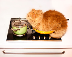 Garfi-Unwanted Behaviour II-Find a way to keep me off the kitchen! (E.L.A) Tags: pets kitchen horizontal closeup cat photography feline sitting character humor kittens nopeople lookingup indoors attitude domesticanimals garfield domesticlife enjoyment domesticcat frontview unhygienic persiancat facialexpression garfi oneanimal colorimage alertness homeinterior highangleview animalthemes bestcatphotos
