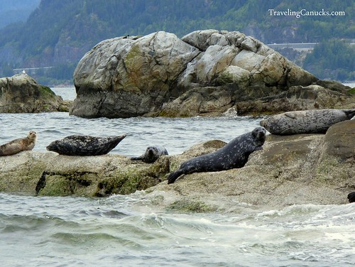 Seal colony in Howe Sound, Vancouver
