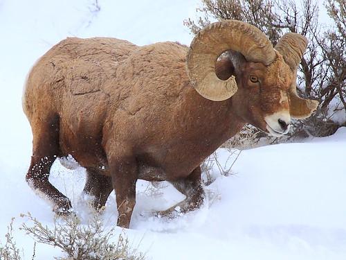 an analysis of the symbol of california desert the peninsular bighorn sheep The desert bighorn sheep, scientific name, common name, description, behavior, range, habitats and life cycle.