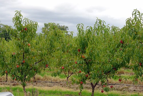 rayners fruit orchard 1
