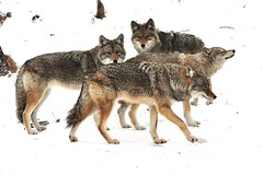 A Pack Of Coyotes (affinity579) Tags: wild animals nikon quebec wildlife coyotes montebello d90 omegapark