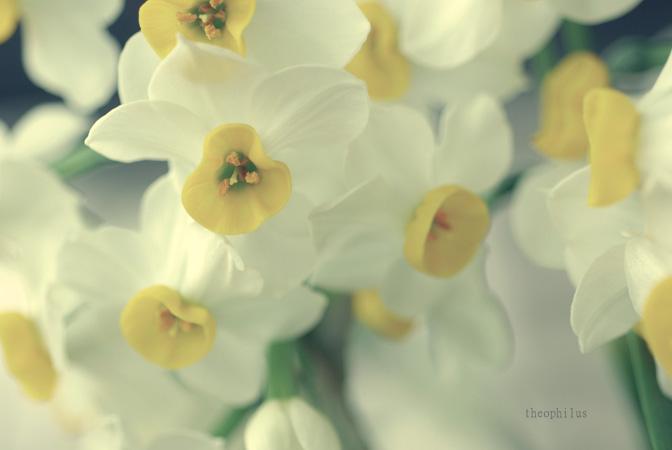 Narcissus 2011