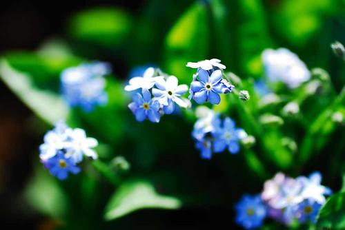 小さな青い花