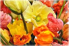 SHADHINOTA 4/40 (dClaudio [homofugit]) Tags: flowers flower nikon colours poppies bangladesh d90 mygearandme mygearandmepremium parisshadhinota