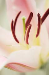 FOR DANIELA ROMANESI (dhmig) Tags: pink stilllife nature closeup nikon dof bokeh details naturallight stamens stamen sweetness lilium elegance orientallily 50mmf28 softcolours nikond7000 dhmig dhmigphotography