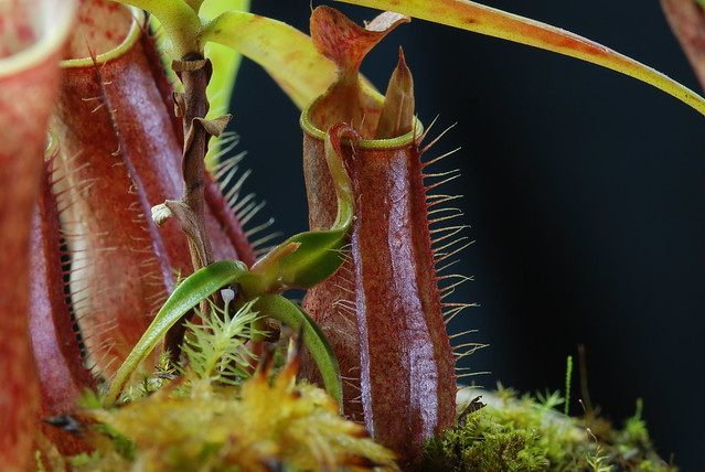 Nepenthes gracilis 'Nigropurpurea'