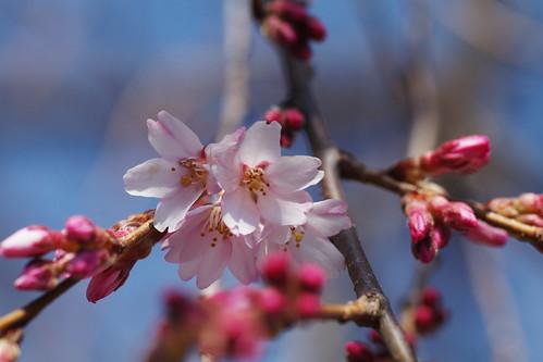 早咲き桜 貢川遊歩道