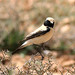 Desert Wheatear (Simon Woolley)