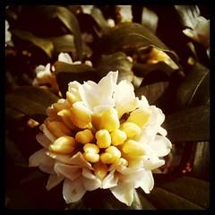 白の沈丁花、気づいたら咲いてた