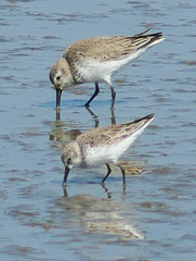 Western Sandpiper (front)