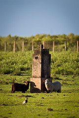 Ovelhas e marco (Ronai Rocha) Tags: border marco marcos fronteira mojon sulrealismo braguay reinodebraguay linhadamorteira