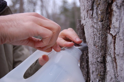 Attaching the milk jug to catch the sap by Eve Fox, Garden of Eating blog, copyright 2011