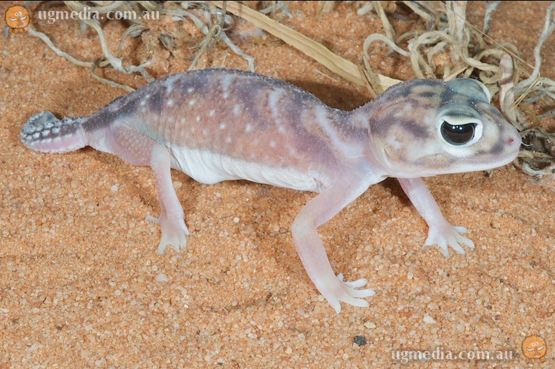 Pernatty knob-tailed gecko (Nephrurus deleani)