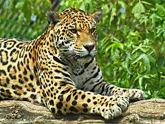 Jaguar (Andy von der Wurm) Tags: portrait bigcat katze jaguar predator soe raubkatze pantheraonca raubtier hobbyphotograph krefelderzoo platinumphoto grosskatze goldstaraward groskatze ringexcellence andreasfucke