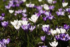 Radiant crocuses (Arjan Gerritsen) Tags: photography photo spring foto fotografie dof bokeh picture crocus lente krokus apeldoorn canonef100mmmacrousm afbeelding oranjepark eos400d