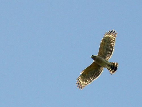 Red-shouldered Hawk 2-20110313