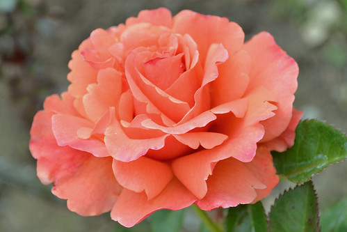 unknown orange rose