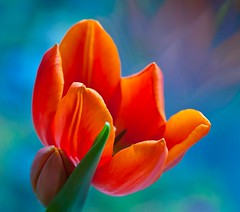 Tulip (Steve-h) Tags: blue ireland dublin orange flower green art tourism nature design europe blossom tourists tulip recreation aerlingus steveh canoneos5dmk2 doublyniceshot canonef100mmf28lmacroisusm tripleniceshot elitegalleryaoi mygearandme mygearandmepremium mygearandmebronze mygearandmesilver mygearandmegold mygearandmeplatinum mygearandmediamond exploreinterestingnesslastsevendays