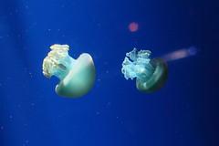 mushroom jellyfish (myu) Tags: world fish mushroom water canon 50mm aquarium marine singapore under jelly f18 creature sentosa myu maxen